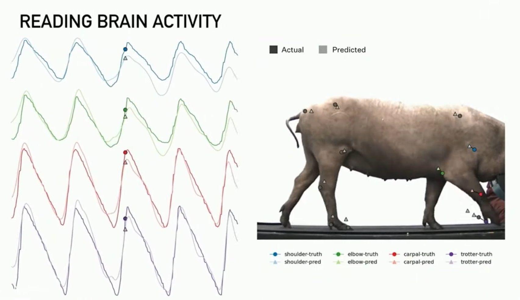 Neuralink enregistre les activités cérébrales du cochon et peut ainsi prédire où se trouvera chaque membre du cochon à tout instant.